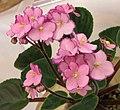 非洲紫羅蘭 Saintpaulia Raspberry Glitz -香港花展 Hong Kong Flower Show- (33775984976).jpg