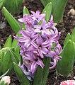 風信子 Hyacinthus orientalis Anna Liza -香港花展 Hong Kong Flower Show- (9198184791).jpg
