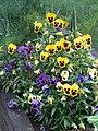 -2019-07-20 Flowering garden pansy (Viola × wittrockiana), Trimingham.JPG