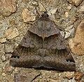 - 8738 – Caenurgina crassiuscula – Clover Looper Moth (42517747400).jpg