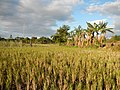 0231jfLandscapes Maronquillo Rice Vegetables Fields San Rafael Bulacanfvf 02.JPG