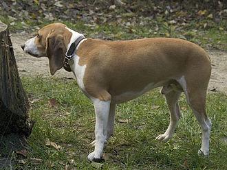 Schweizerischer Niederlaufhund - Small Schwyz Hound, a variety of Schweizerischer Niederlaufhund