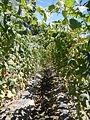 0885jfSan Ildefonso Remedios Plants Royal Skies Roadsfvf 01.JPG