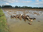 09410jfRoads Paddy fields Domesticated ducks Bahay Pare Candaba Pampangafvf 11.JPG