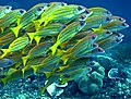 1228RajaAmpatS - 5 blue-lined snappers (5555633043).jpg