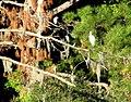 17 Egrets Bennetts Point RD Green Pond SC 6844 (12397431105).jpg