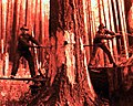 1939. Fallers working on a burned tree. Rhyne operation. Tillamook Burn, Oregon. (34888157251).jpg