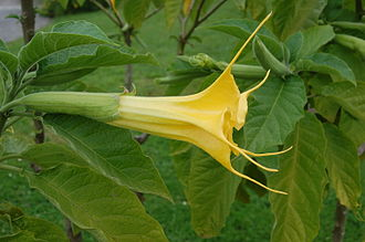 Petal - Tubular-campanulate corolla, bearing long points and emergent from tubular calyx ( Brugmansia aurea, Golden Angel's Trumpet, family Solanaceae ).
