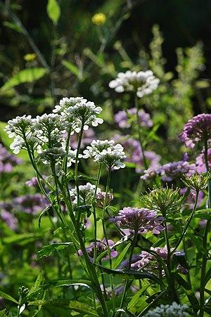 Iberis umbellata - Image: 2010 06 29 (3) plant