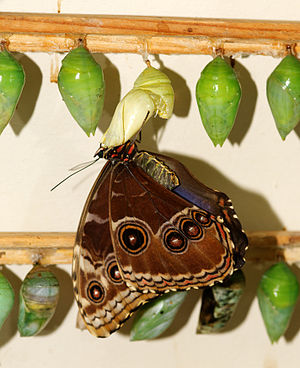 Morpho - Pupae and emerging adult