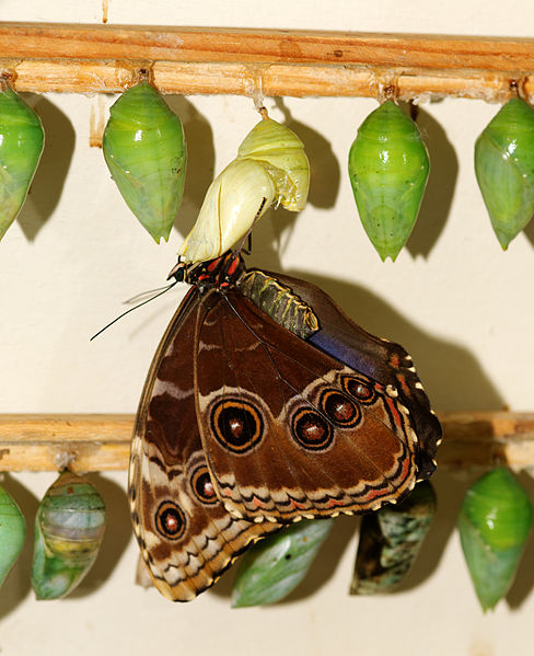 File:2011-08-08 15-53-56-papillon-hunawihr.jpg