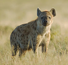 and average length Striped hyena height