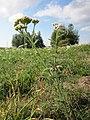 20120922Achillea millefolium4.jpg