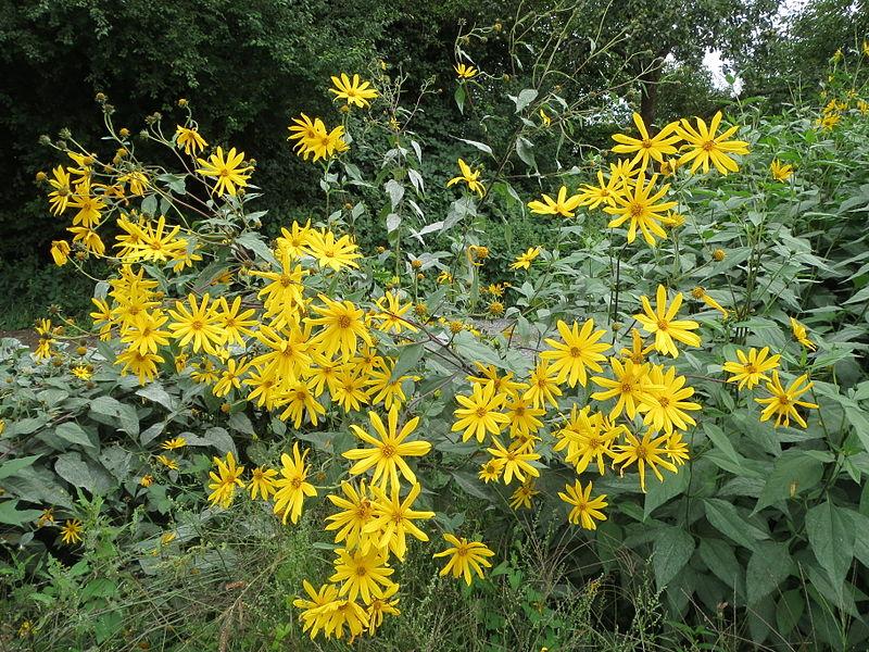 Файл:20130827Helianthus tuberosus3.jpg