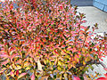 2014-12-20 13 12 27 Leaf coloration of Azalea cultivar 'Rosebud' during early winter along Terrace Boulevard in Ewing, New Jersey.JPG