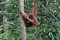 2014 Borneo Luyten-De-Hauwere-Bornean orangutan-06.jpg