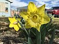 2015-03-31 10 25 50 Yellow daffodil along Idaho Street (Interstate 80 Business) in Elko, Nevada.JPG