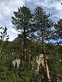 2015-04-30 16 29 34 Ponderosa Pines along the Trail Canyon Trail in the Mount Charleston Wilderness, Nevada about 1.1 miles north of the trailhead.jpg