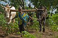 2015.07-431-444ap upland cotton,cattle(zebu),weeding,furrowing Kani,Nafanga Cmn.(Koutiala Crc.,Sikasso Rgn),ML thu30jul2015-0906h.jpg