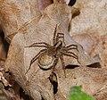 2015.07.02.-03-Schwarzbach Doberschuetz--Wolfspinne-Pardosa lugubris s. str.-Weibchen.jpg