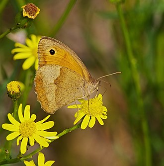 Meadow brown - Both females