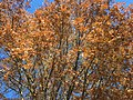 2017-11-24 13 38 21 View up into the canopy of a Pin Oak in late autumn along Ladybank Lane in the Chantilly Highlands section of Oak Hill, Fairfax County, Virginia.jpg