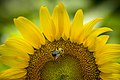 20170716-PJK-Sunflowers-0015TONED 1 (35128728564).jpg