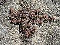 20170823Euphorbia maculata2.jpg