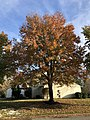 2018-11-16 15 24 51 Red Maple along Tranquility Lane in the Franklin Farm section of Oak Hill, Fairfax County, Virginia.jpg