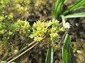 20180614Scleranthus annuus2.jpg