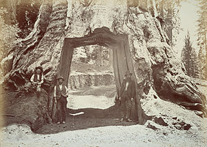 Yosemite National Park - The Dead Giant, c.1870