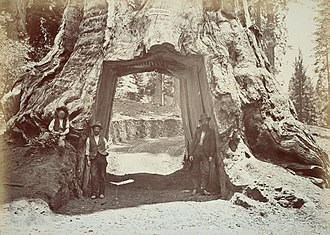 Yosemite National Park - The Dead Giant (c.1870s)
