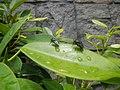 4733Common houseflies in Philippines 38.jpg
