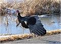 49 365 Wild Turkey (5456814525).jpg