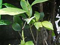 5662Zygoptera on leaves of the Philippines 32.jpg