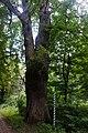 61-204-5030 дуб Велетень Рай (1).jpg