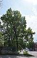 68-104-5067 Дуб звичайний.jpg