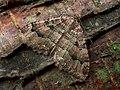 70.123 BF1790 The Tissue, Triphosa dubitata (2537181206).jpg