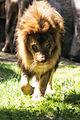 80s Hair Metal Lion (18823318951).jpg