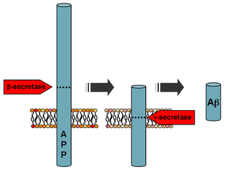 Beta-secretase 1 - Processing of the amyloid precursor protein