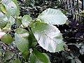 AZ0059 Ulmus x hollandica. Regent Park Road (18).jpg