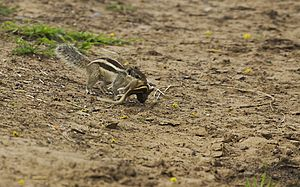 Northern palm squirrel - A Five-striped palm squirrel refuses to leave her dead baby, carried this dead baby in its mouth near Deva village in Anand, Gujarat.