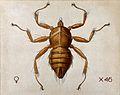 A bird or bat fly (Penicillidia dufouri). Coloured drawing b Wellcome V0022555.jpg