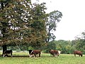 A group of bullocks on the Poulsden Estate - geograph.org.uk - 1520494.jpg