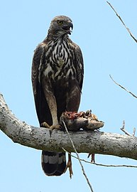 A hungry Changeable Hawk Eagle (Nisaetus cirrhatus) feeding on a villager's chicken.jpg