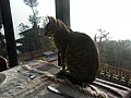 A meditation cat, Nagarkot - panoramio.jpg