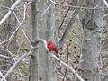 A red bird, IMG 0005.JPG