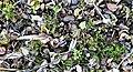 A snail shell graveyard at a Turdus philomelos anvil, Chapeltoun, Ayrshire.jpg