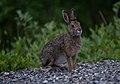 A snowshoe hare (85e3fcec-9bf5-4765-9f55-3fdc70c29a69).jpg
