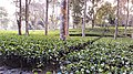 A tea estate in North Lakhimpur, Assam.jpg